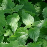 stock-footage-nettle-close-up