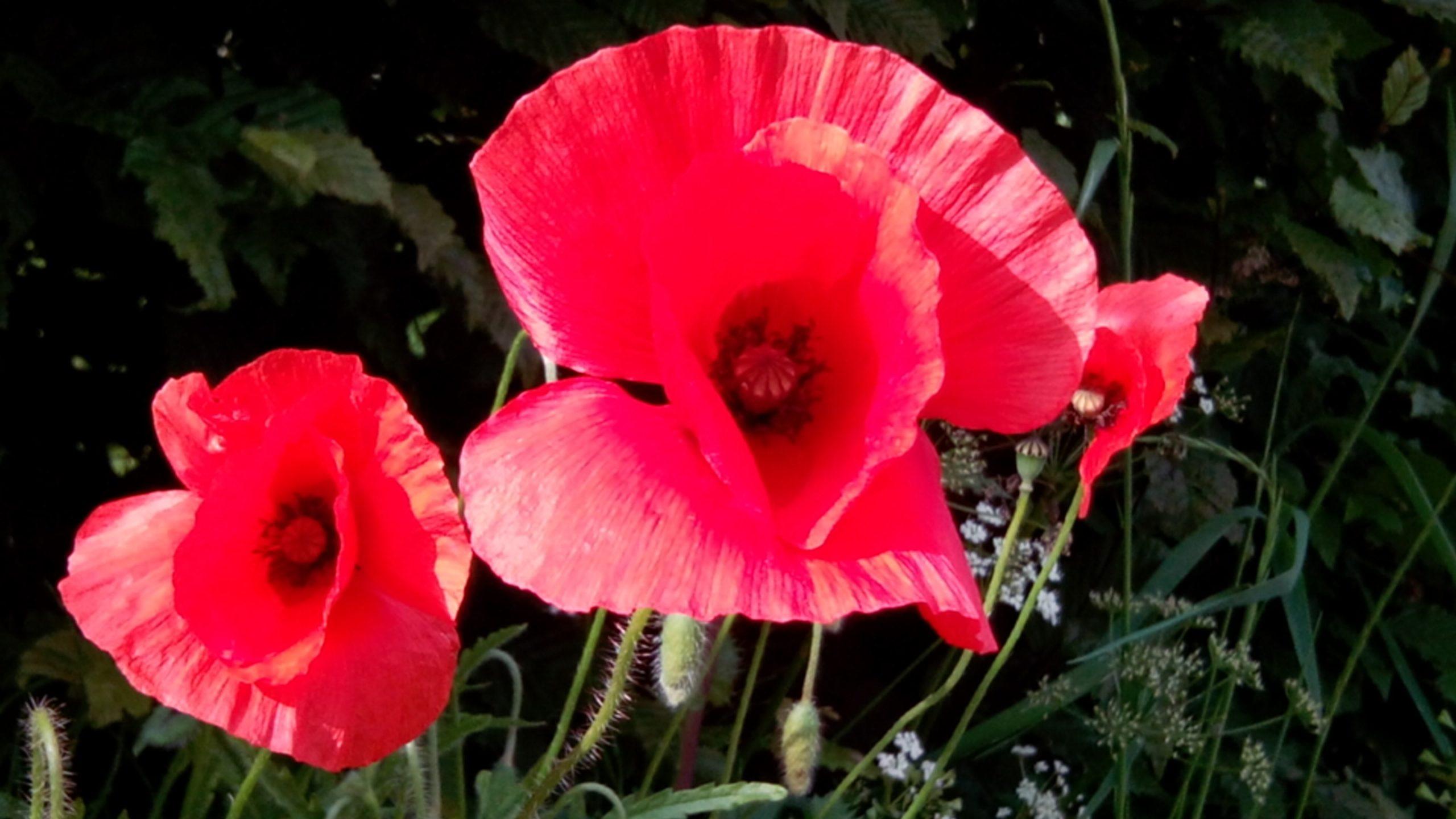 Over opium, klaprozen en slaapsiroop