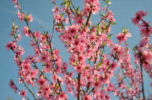 Perzikbloesems en -pitten: een vergeten remedie